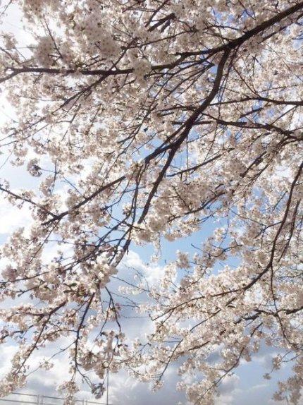 2019年 桜3