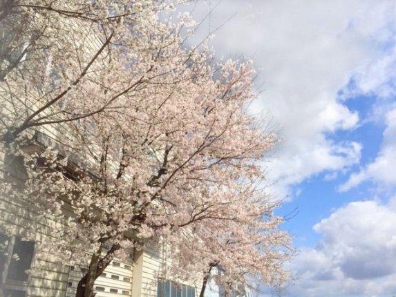 2019年 桜1